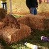 RATIlucy_barn_hunt100