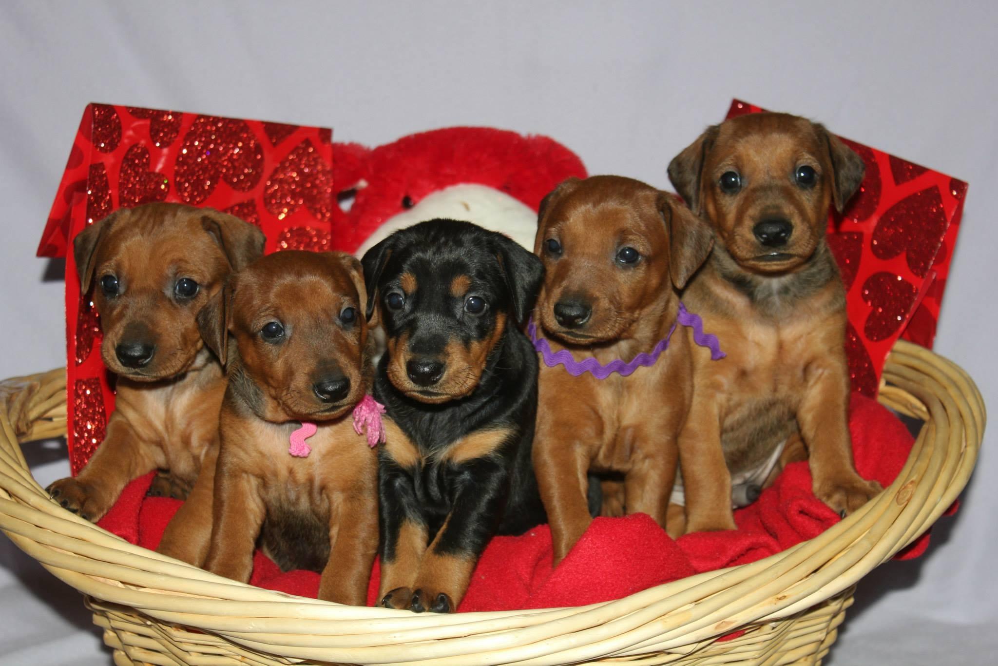 Valentine Pups
